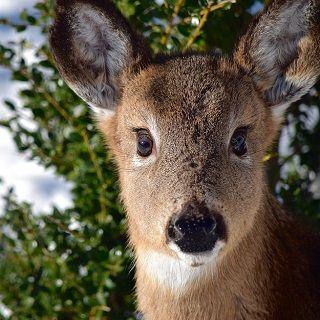 deer-